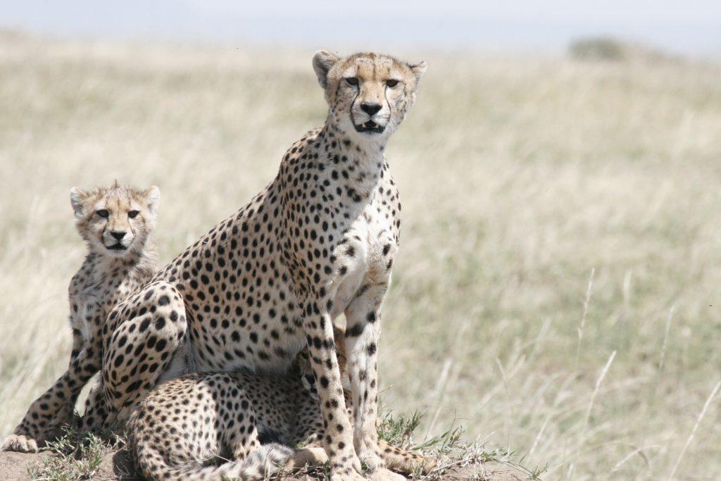cheetah-safari