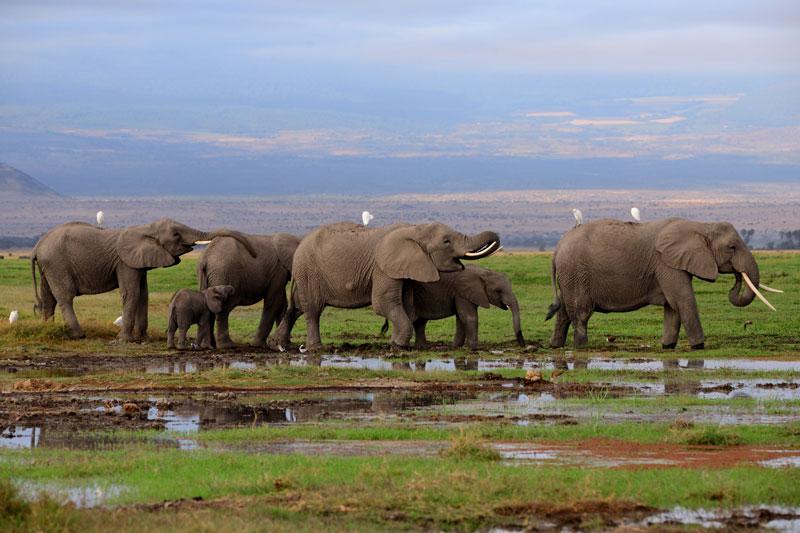 elephant-@-amboseli