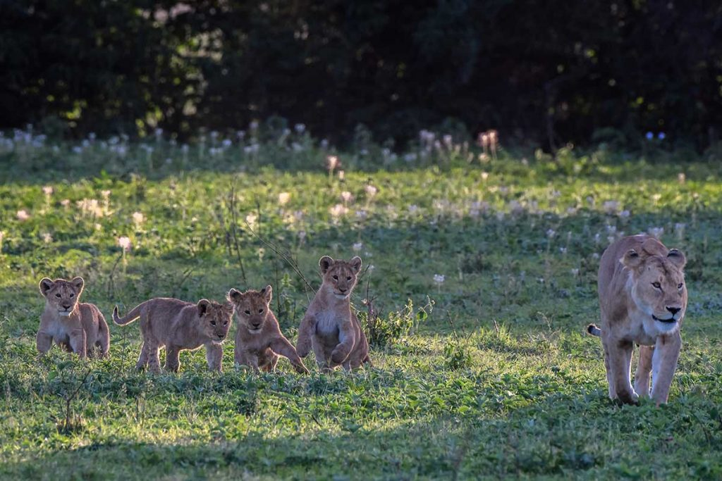 Mara-lioness-and-her-cubs-in-the-early-morning-light
